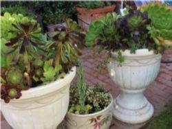 Two matching pots with succulent arrangement